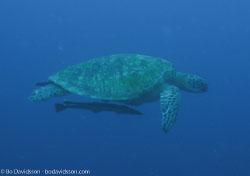 BD-060412-Moalboal--Eretmochelys-imbricata-(Linnaeus.-1766)-[Hawksbill-turtle.-Karettsköldpadda].jpg